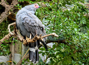 17th Mar 2019 - Gosshawk at World of Birds