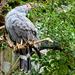 Gosshawk at World of Birds