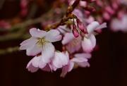 17th Mar 2019 - Cherry Blossom