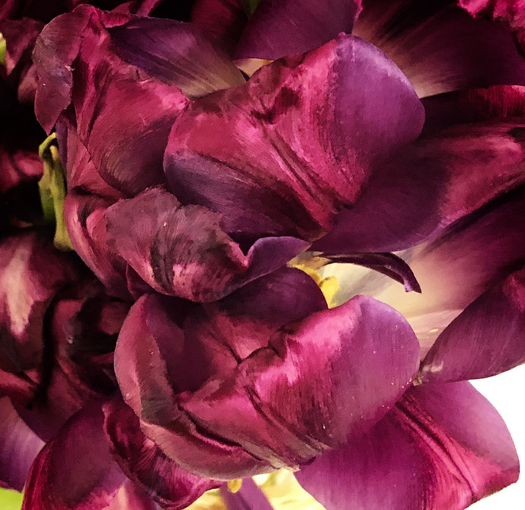 Old Tulips by gardencat