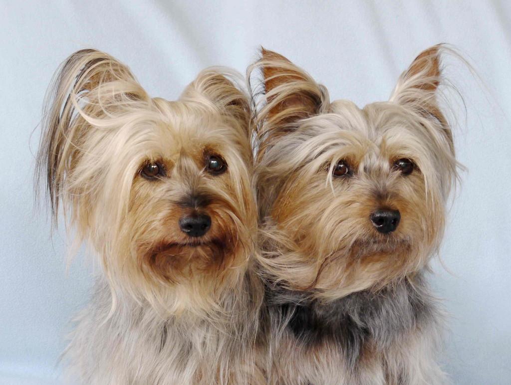 Silky Terriers 4 & 5 by jesika2