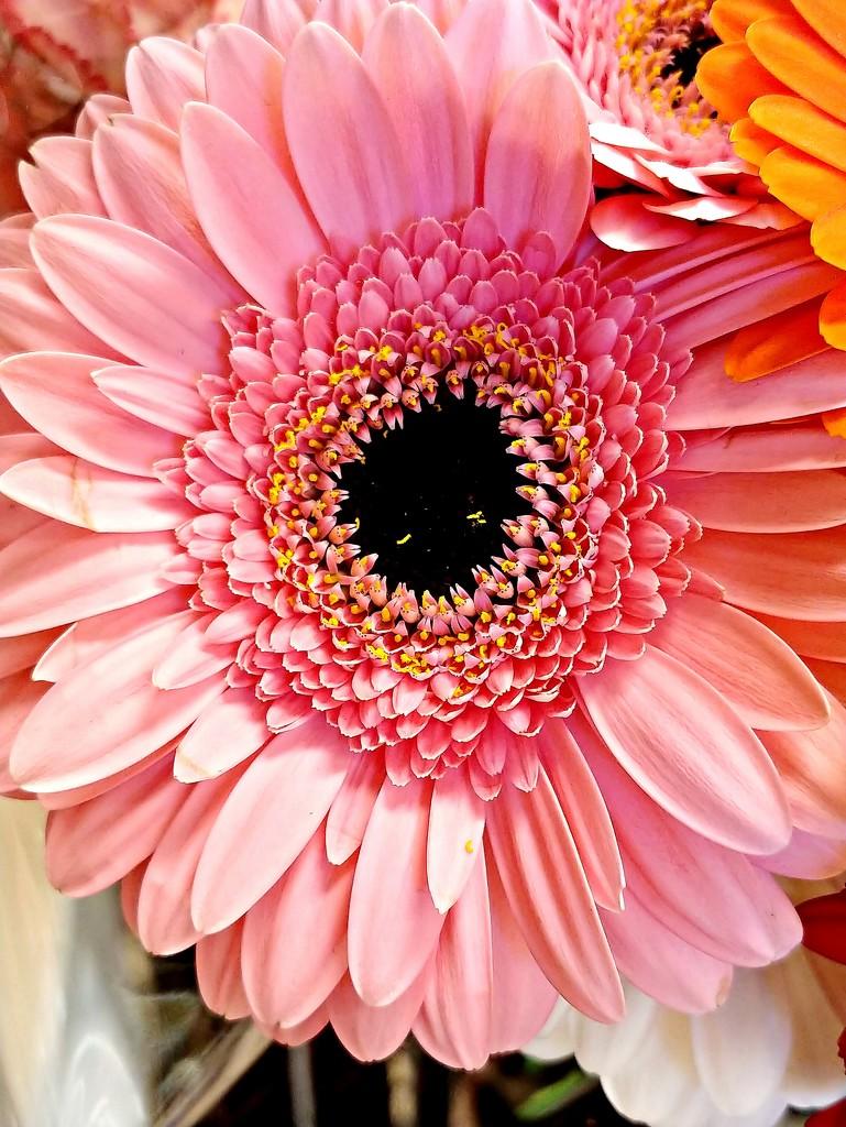 Pink Beauty  by jo38