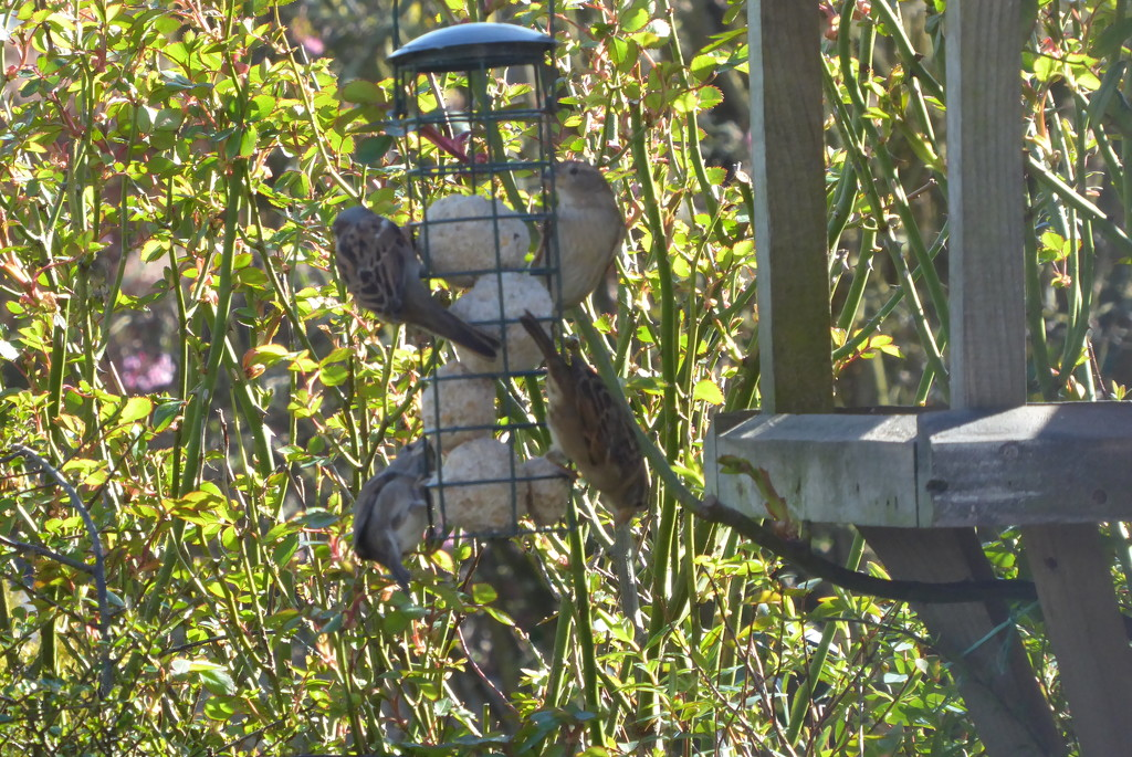 Sparrows busy feeding by snowy