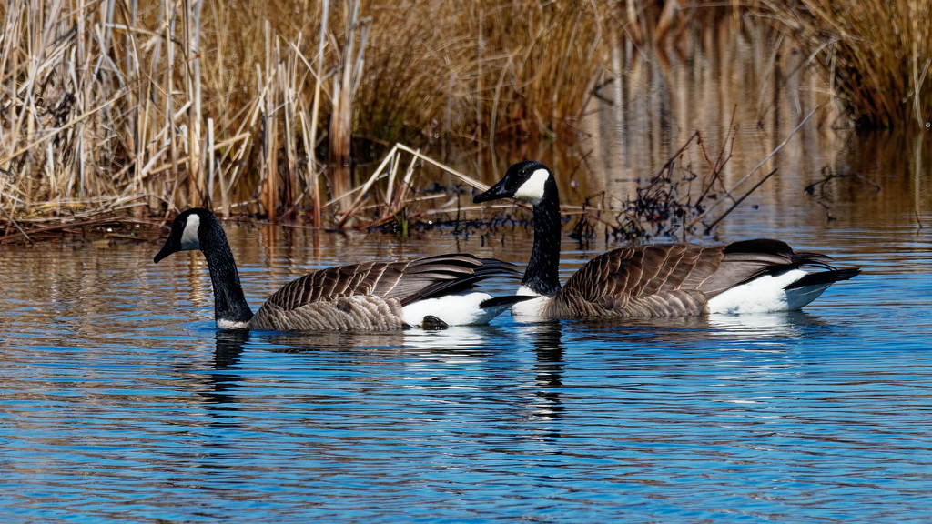 canadian geese fantasy by rminer