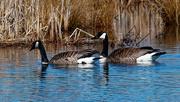 17th Mar 2019 - canadian geese fantasy