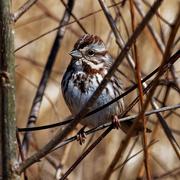 17th Mar 2019 - song sparrow