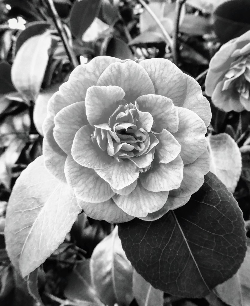 Petals in black and white by 4rky
