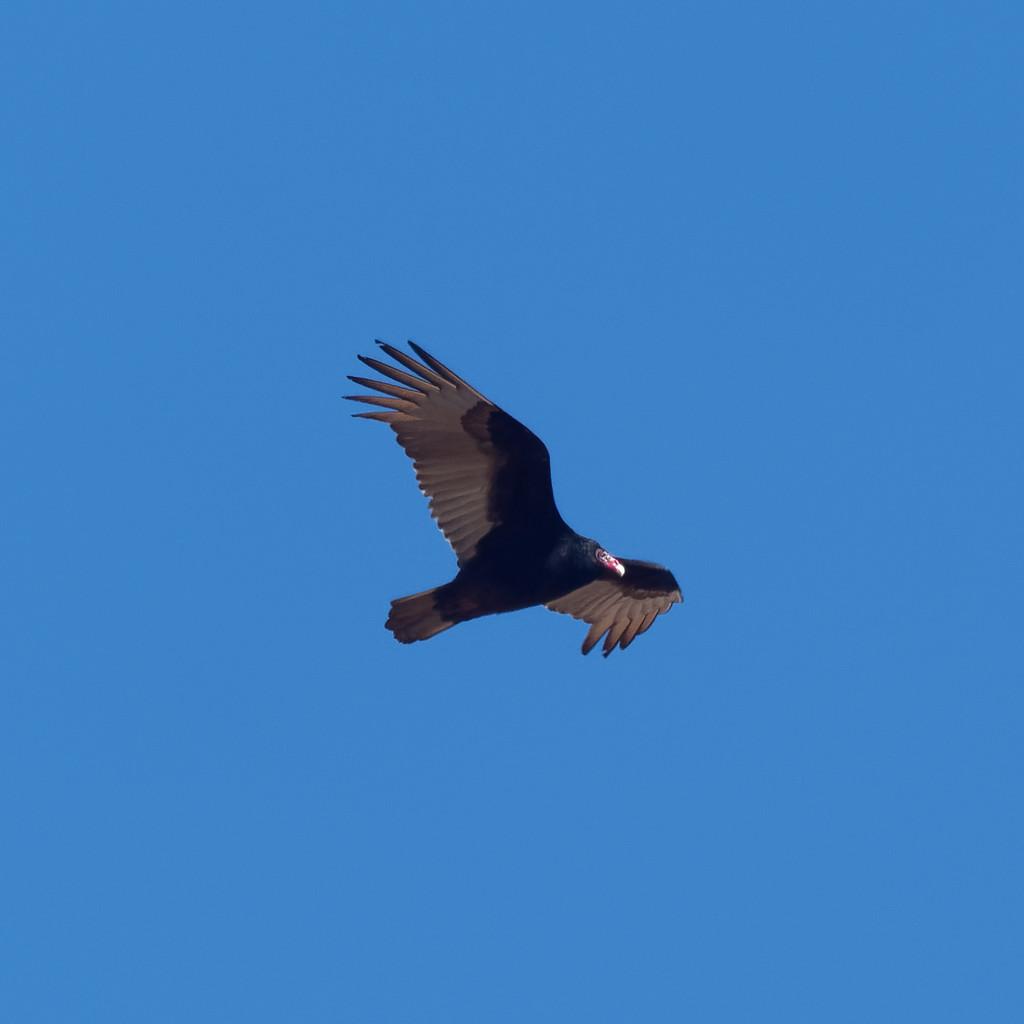 Turkey Vulture by rminer