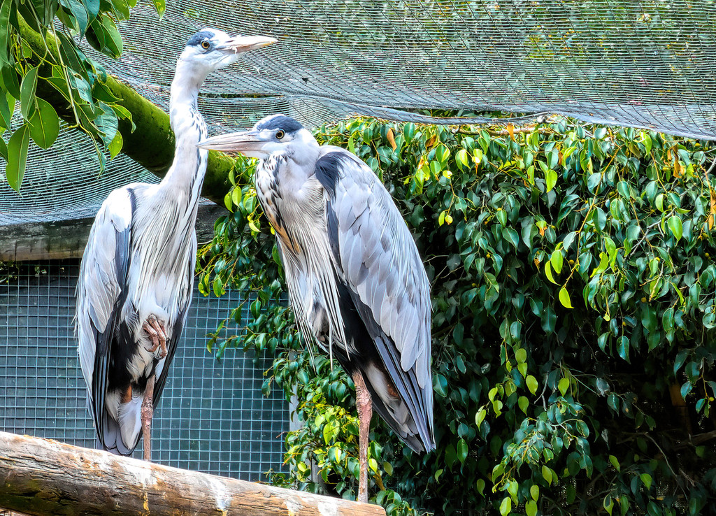 Grey Herons at World of Birds. by ludwigsdiana