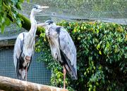 18th Mar 2019 - Grey Herons at World of Birds.