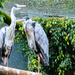 Grey Herons at World of Birds.