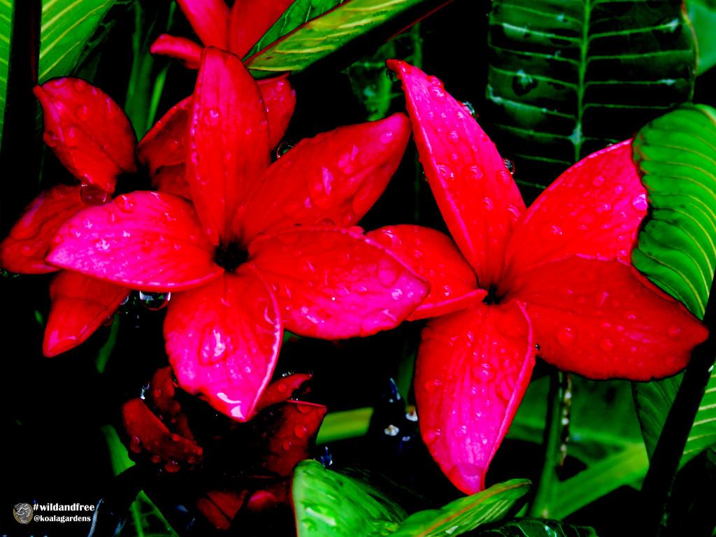 Red Frangipani by koalagardens