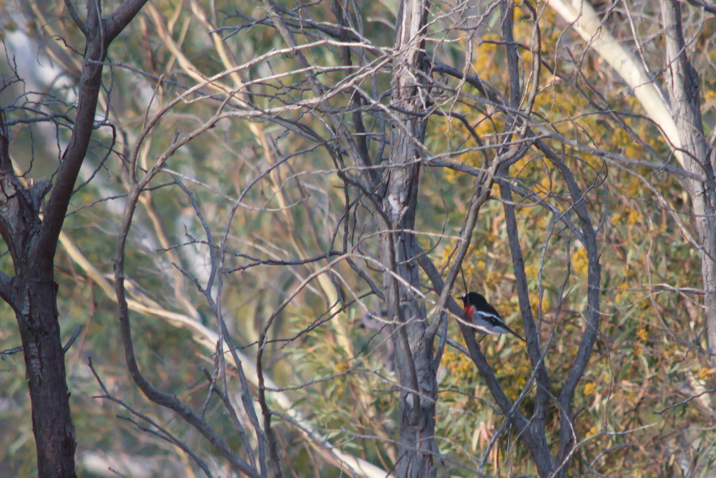 Scarlet Robin sitting in the tree. by kgolab