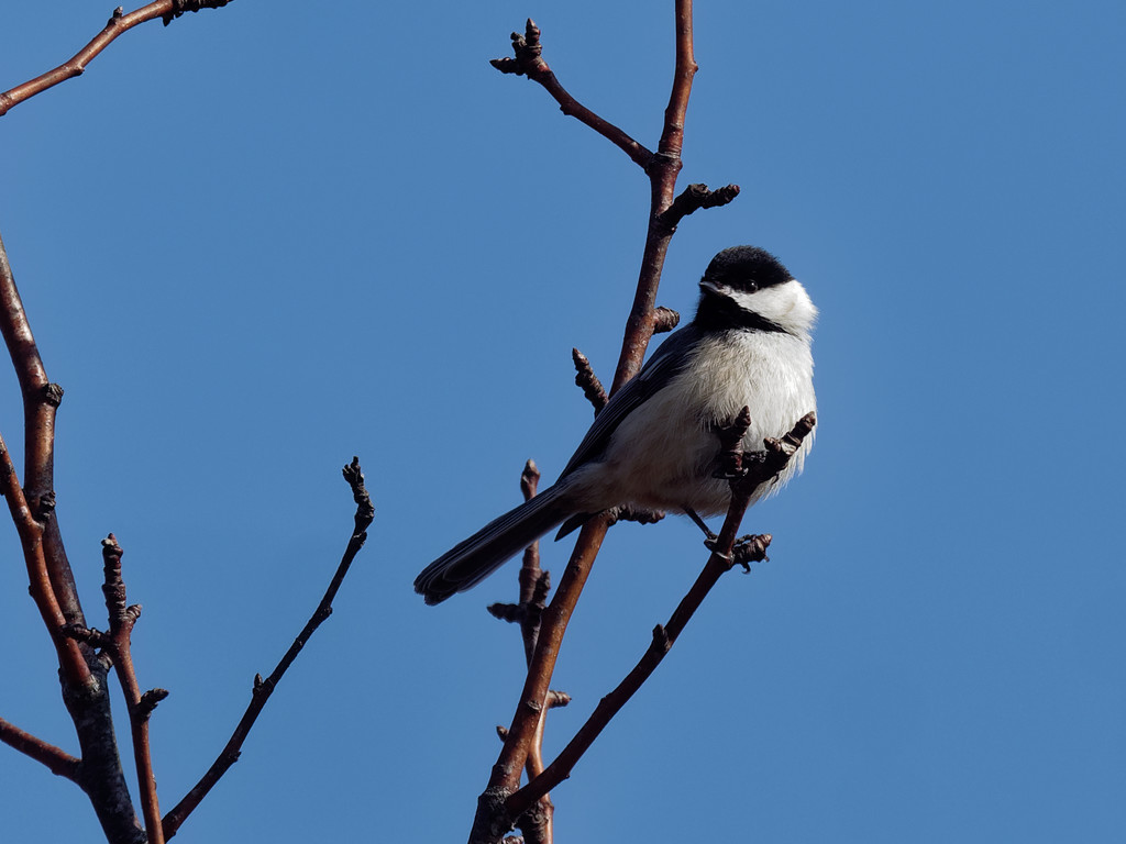 black-capped chickadee by rminer