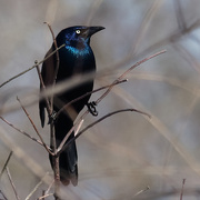 18th Mar 2019 - common grackle