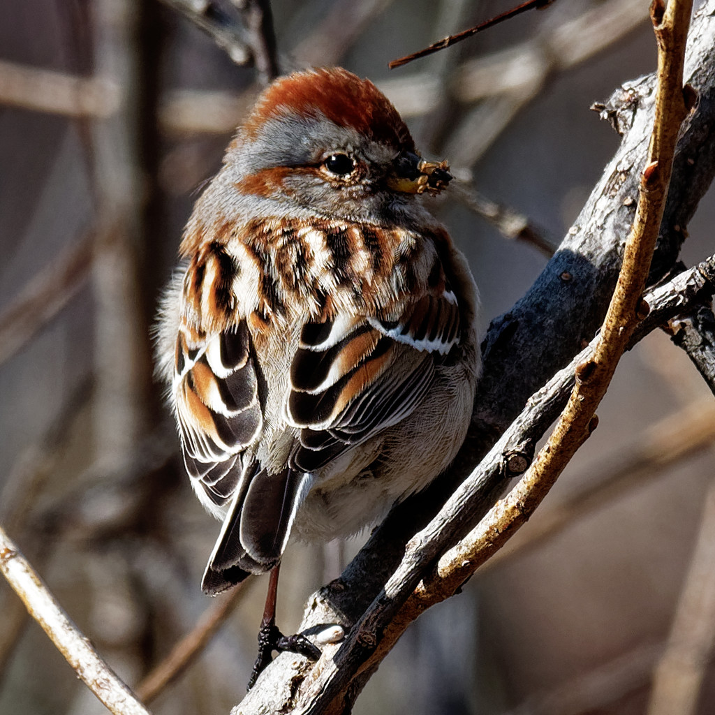 american tree sparrow  by rminer
