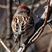 18th Mar 2019 - american tree sparrow