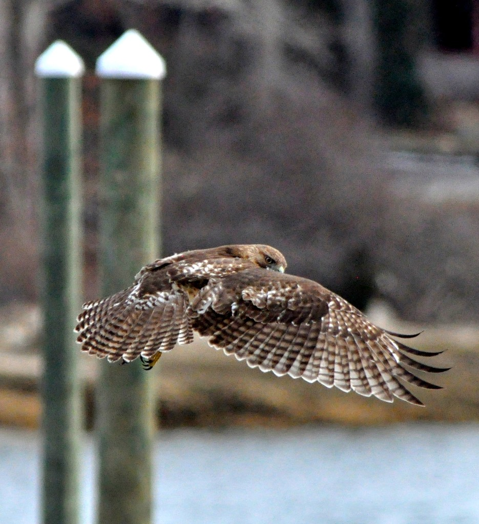 My wing is my cape...............Hawk Series #6 by sailingmusic