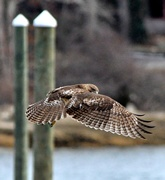 18th Mar 2019 - My wing is my cape...............Hawk Series #6