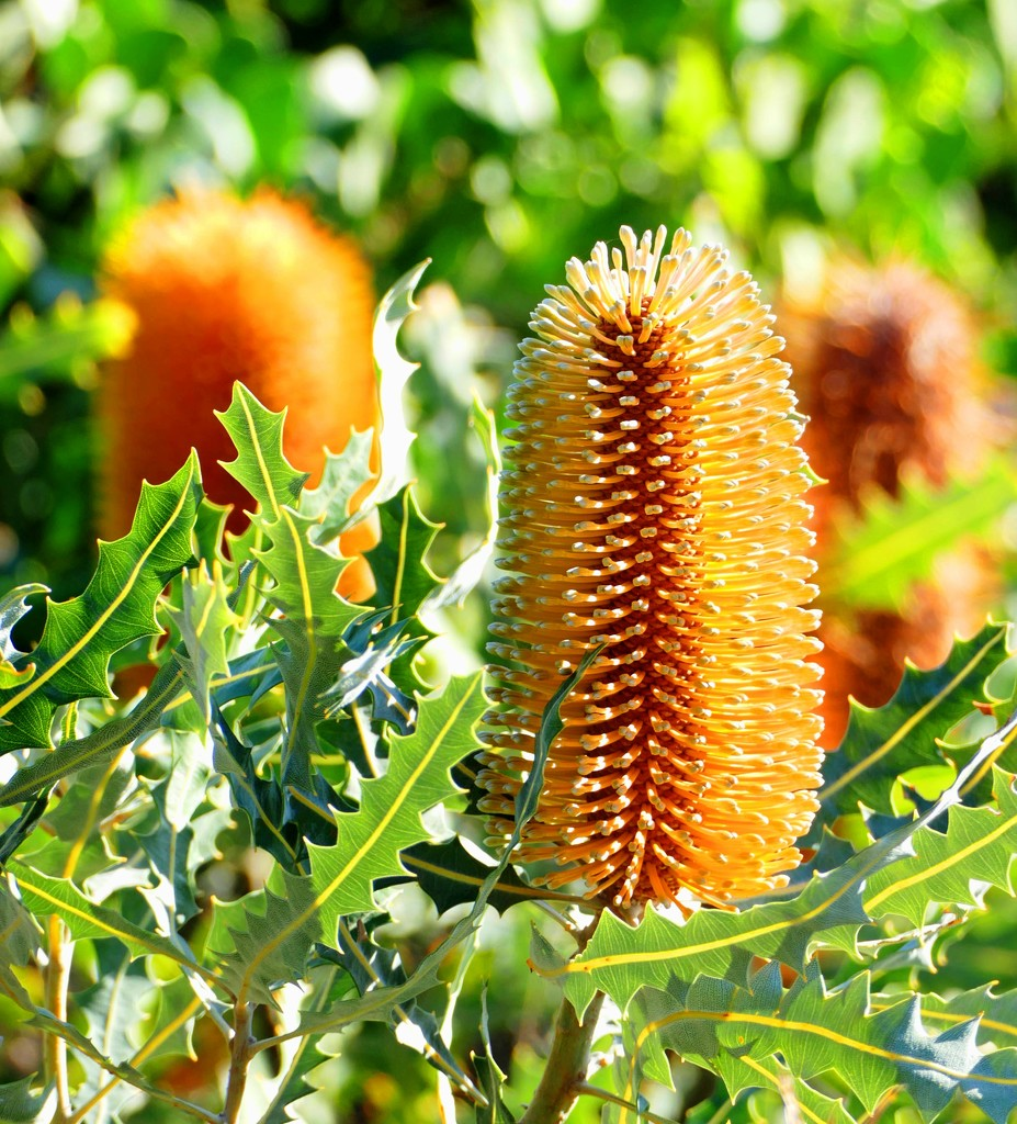 Rainbow Month Day 19 - Banksia Ashbyi by judithdeacon