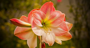 18th Mar 2019 - Apple Blossom Amaryllis Flowers!
