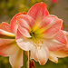 Apple Blossom Amaryllis Flowers!