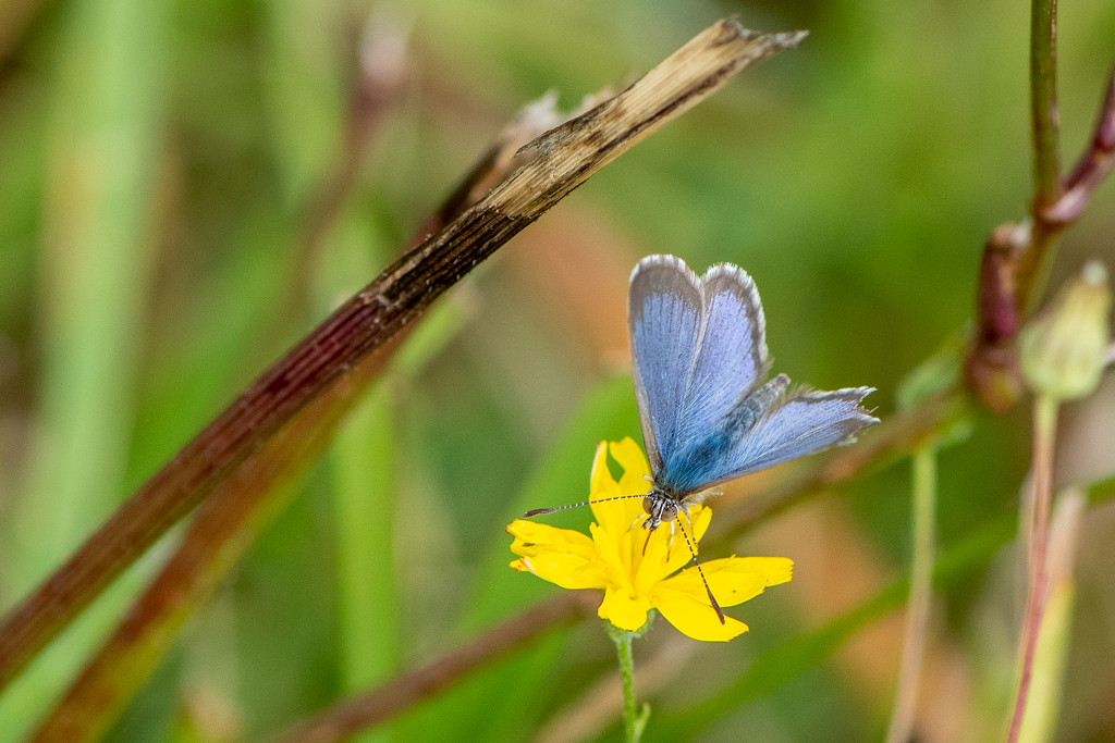 Common Grass Blue by yorkshirekiwi