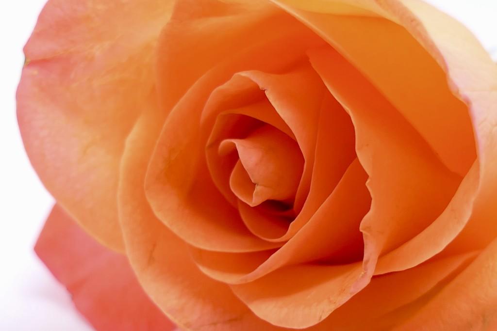 Orange Rose..... by carole_sandford