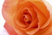 19th Mar 2019 - Orange Rose.....