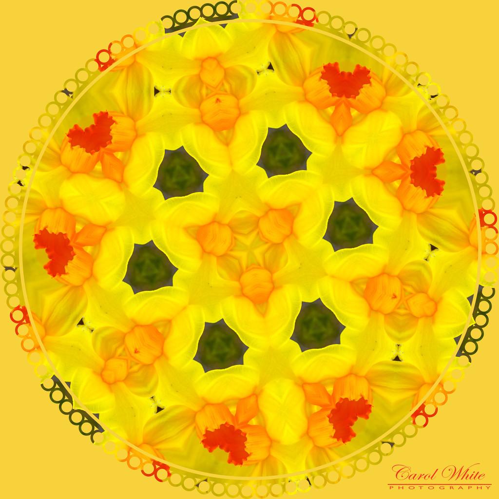 Daffodil Kaleidoscope by carolmw