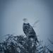 moody eagle
