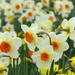 Dancing Daffodils.
