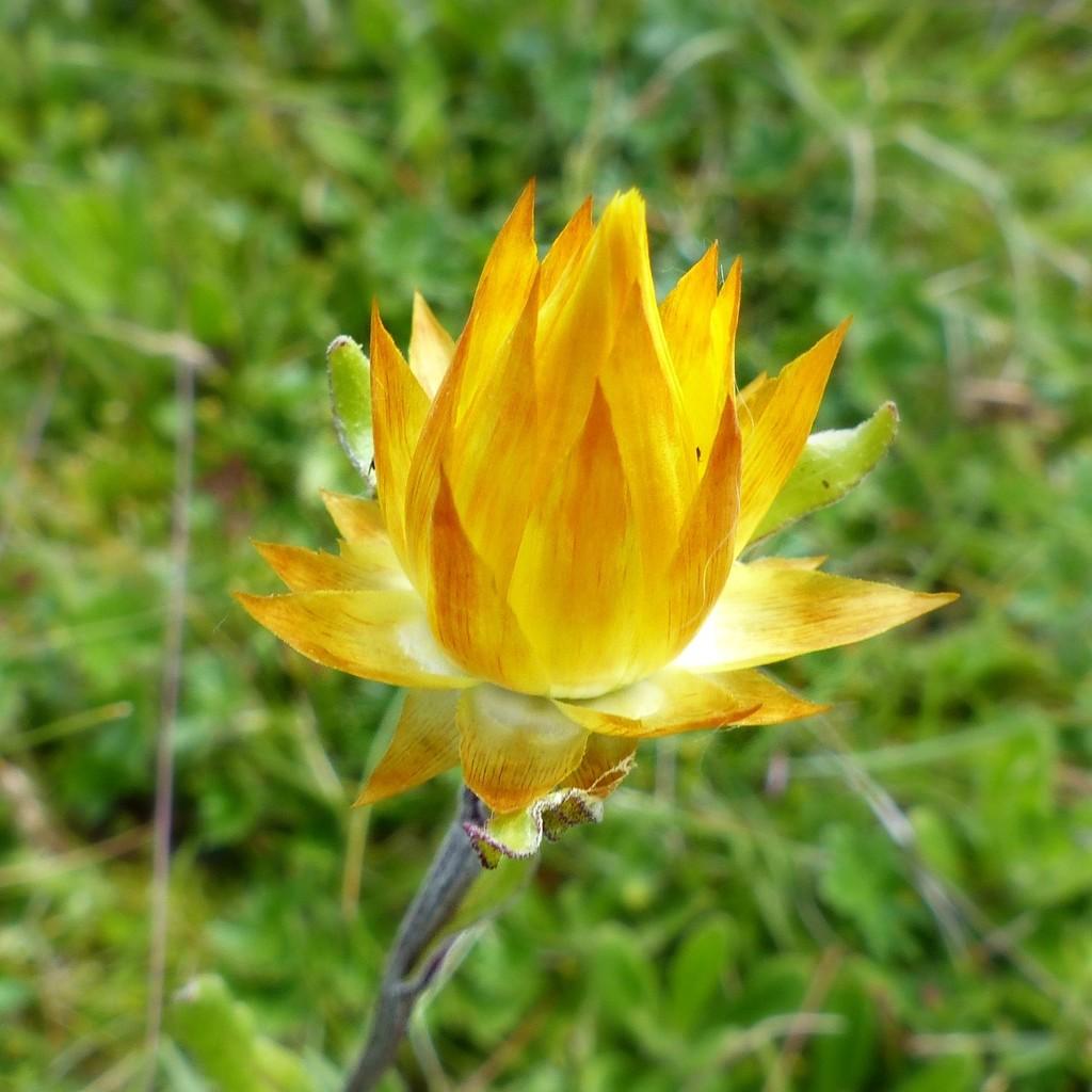 Rainbow Month Day 20 - Australian Everlasting (Xerochrysum viscosum) by judithdeacon