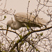 Egret's are Still Gathering Twigs!