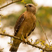 Red Shouldered Hawk Waiting to Pounce!