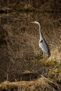 19th Mar 2019 - Tall (Great Blue) Heron