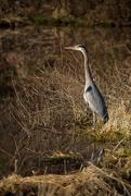 19th Mar 2019 - Tall (Great Blue) Heron