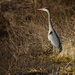 Tall (Great Blue) Heron