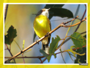 20th Mar 2019 - Yellow-breasted Robin