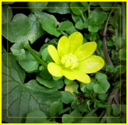 20th Mar 2019 - Yellow celandine