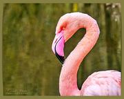 20th Mar 2019 - Flamingo