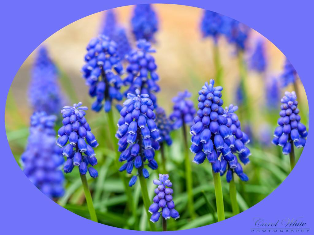 Grape Hyacinth by carolmw