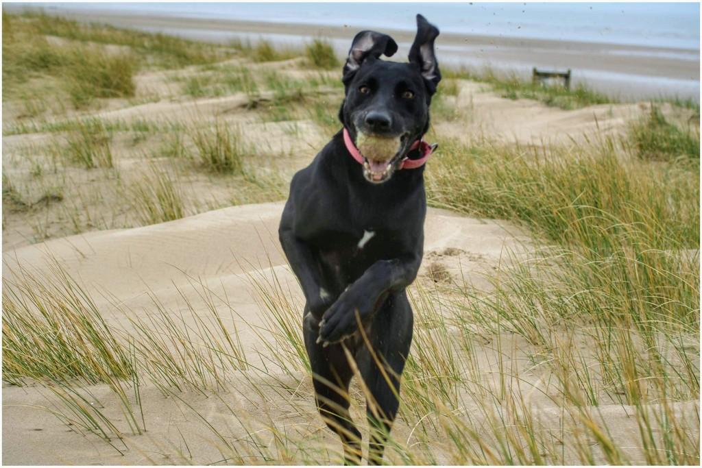 Ainsdale beach yesterday - Sadie having fun! by lyndamcg
