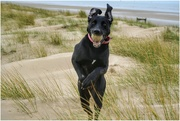 20th Mar 2019 - Ainsdale beach yesterday - Sadie having fun!