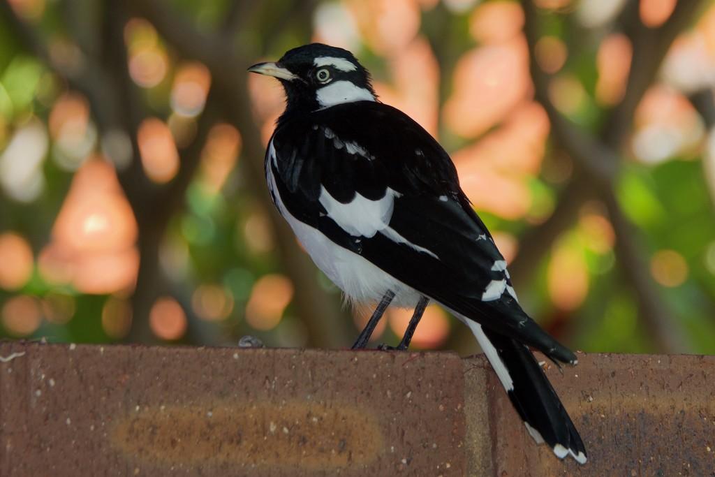 Bird and Bokeh_DSC8036 by merrelyn
