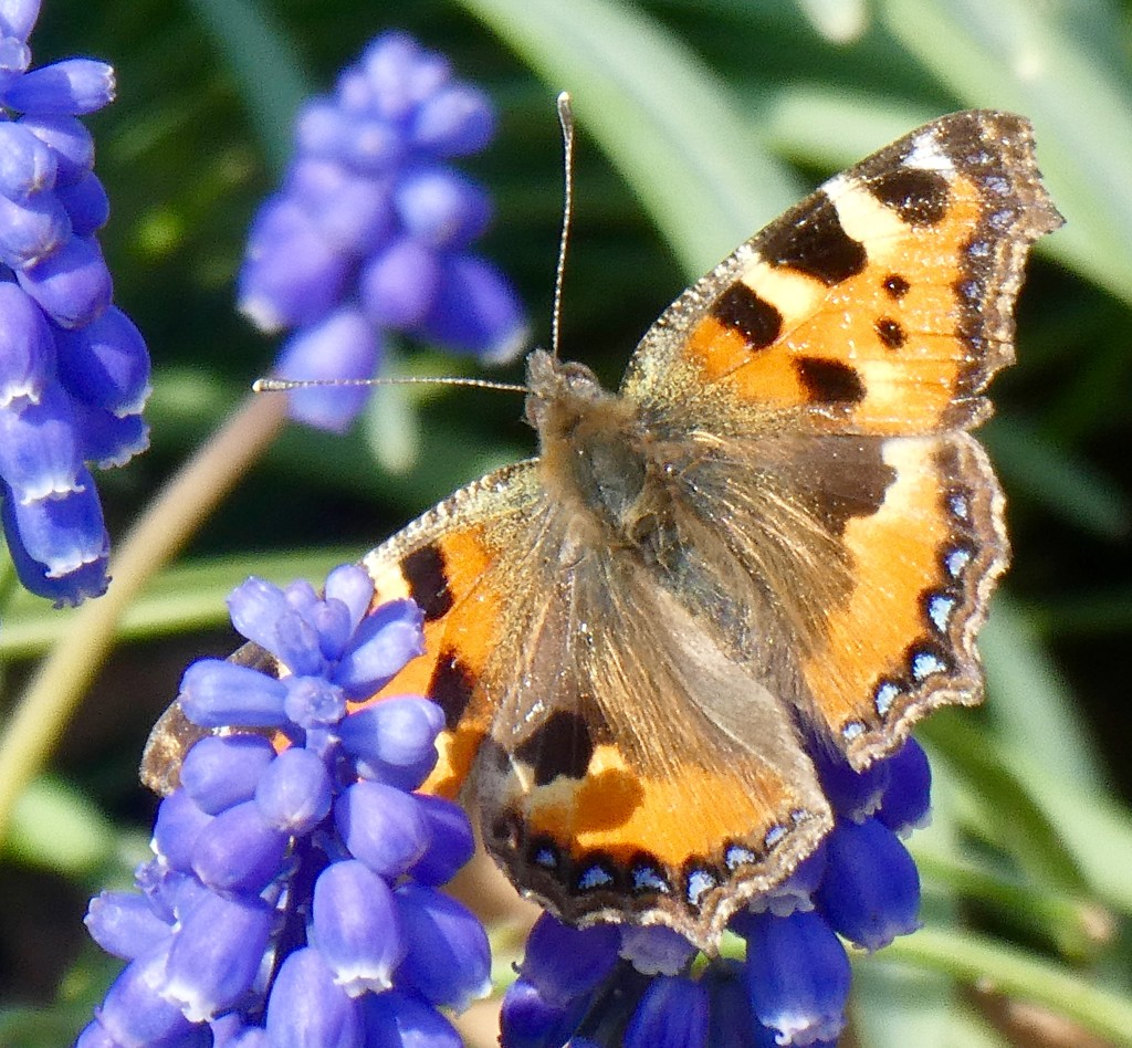 Small Tortoiseshell by orchid99