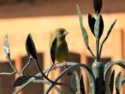 18th Mar 2019 -  Greenfinch