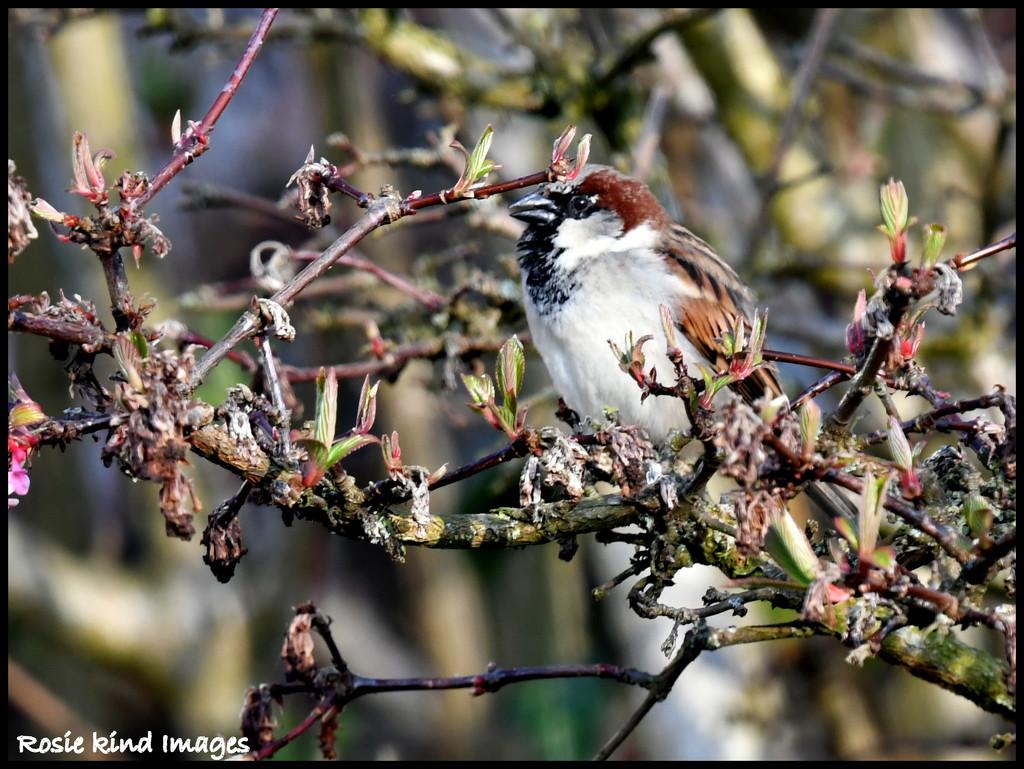 Mr House Sparrow by rosiekind