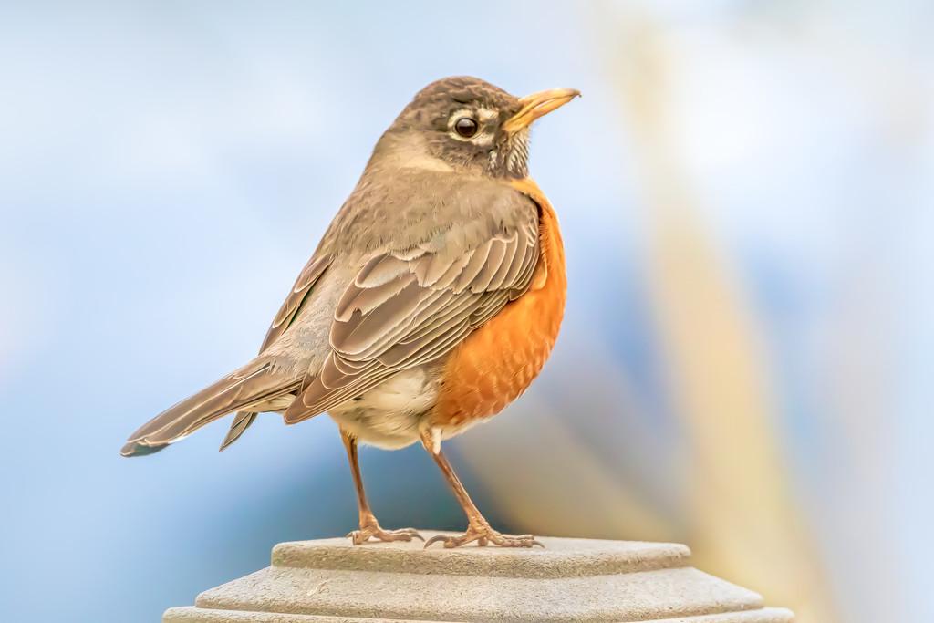 Robin by jernst1779
