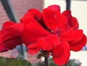 18th Mar 2019 - Red geranium